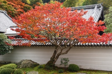 Japan in autumn (red maple tree in Nanzen ji temple ( Kyoto)